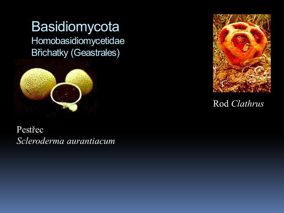 Basidiomycota Homobasidiomycetidae Břichatky (Geastrales)