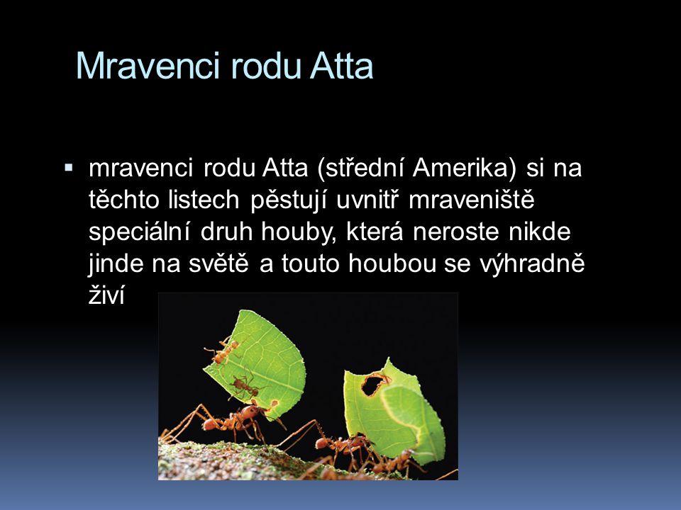 Mravenci rodu Atta
