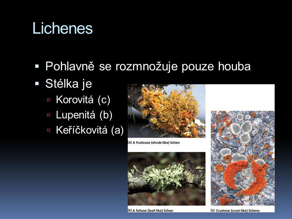 Lichenes Pohlavně se rozmnožuje pouze houba Stélka je Korovitá (c)