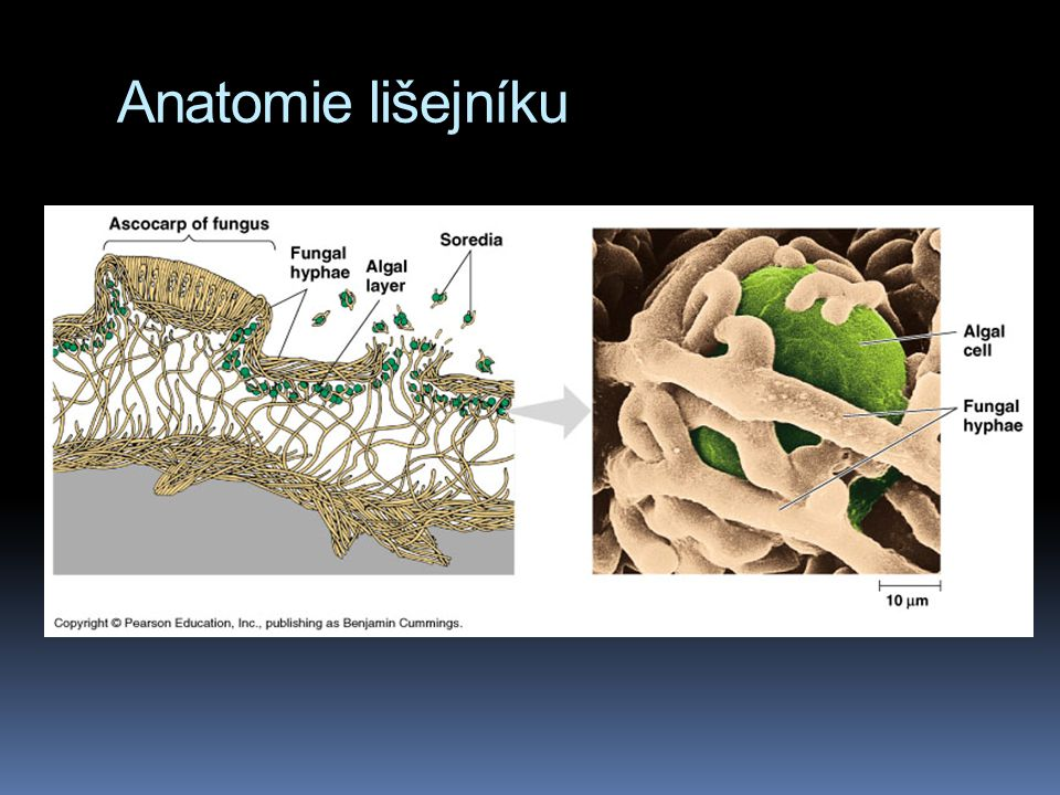 Anatomie lišejníku
