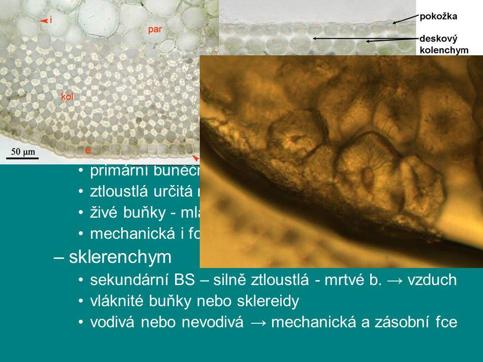 rostlinná pletiva podle tvaru buněk a tloustnutí BS kolenchym
