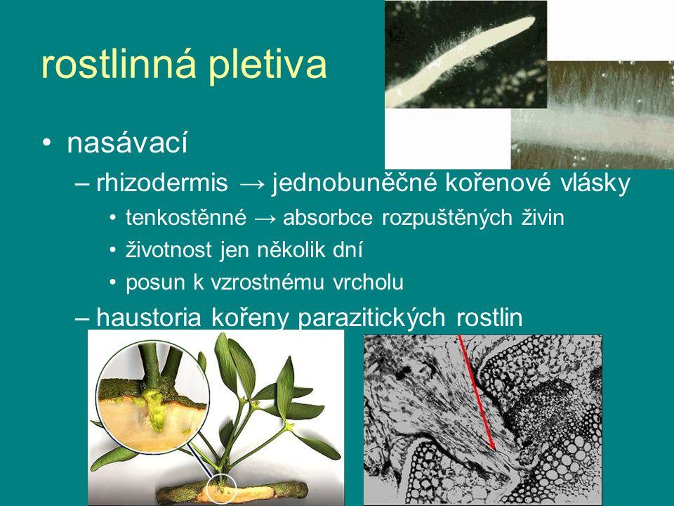 rostlinná pletiva nasávací rhizodermis → jednobuněčné kořenové vlásky