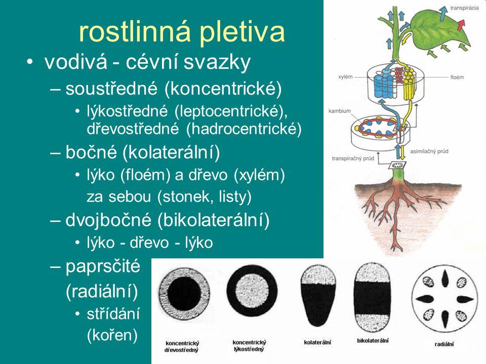 rostlinná pletiva vodivá - cévní svazky soustředné (koncentrické)