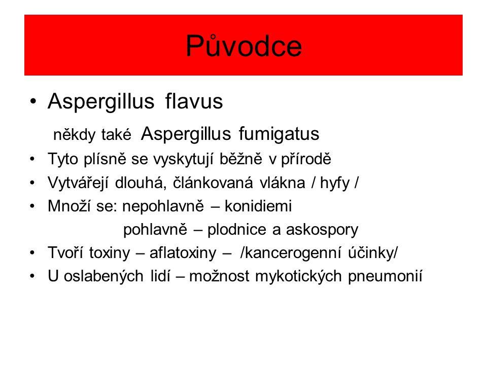 Původce Aspergillus flavus někdy také Aspergillus fumigatus