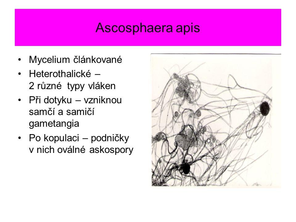 Ascosphaera apis Mycelium článkované