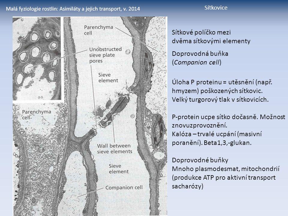 dvěma sítkovými elementy Doprovodná buňka (Companion cell)