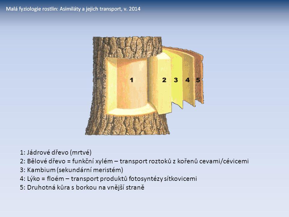 1: Jádrové dřevo (mrtvé) 2: Bělové dřevo = funkční xylém – transport roztoků z kořenů cevami/cévicemi