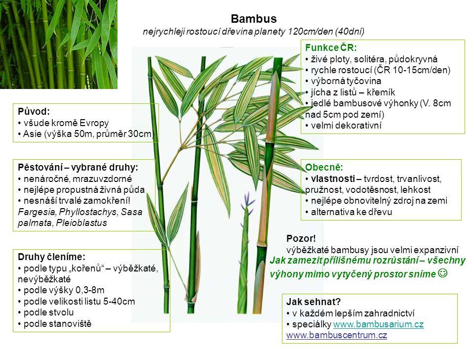 Bambus nejrychleji rostoucí dřevina planety 120cm/den (40dní)