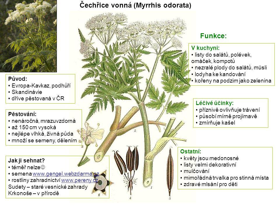 Čechřice vonná (Myrrhis odorata)