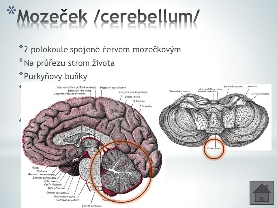 Mozeček /cerebellum/ 2 polokoule spojené červem mozečkovým