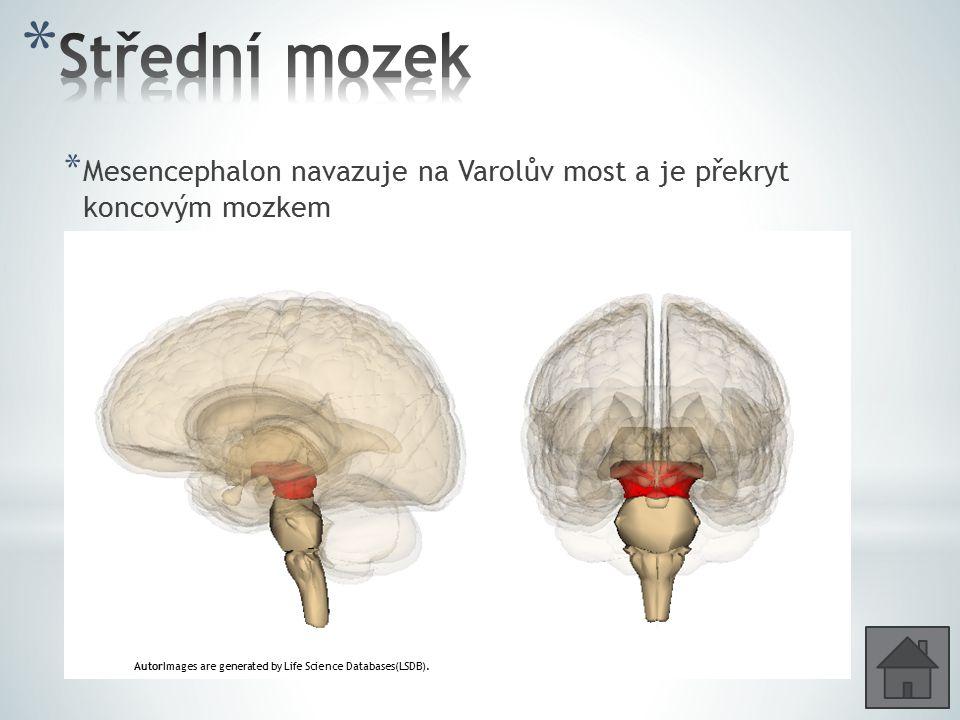 Střední mozek Mesencephalon navazuje na Varolův most a je překryt koncovým mozkem.