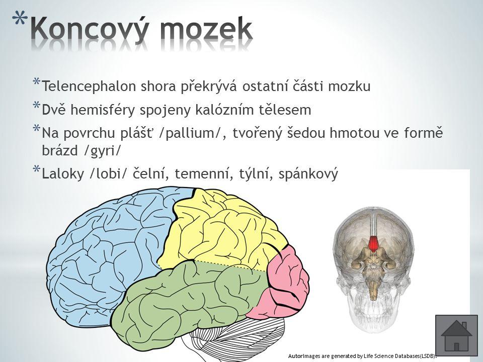 Koncový mozek Telencephalon shora překrývá ostatní části mozku