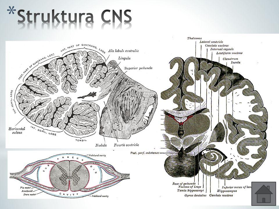 Struktura CNS Šedá hmota – je tvořena převážně těly neuronů