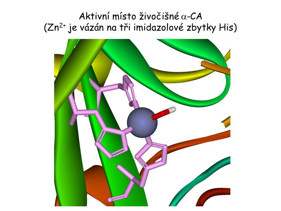 Aktivní místo živočišné a-CA (Zn2+ je vázán na tři imidazolové zbytky His)