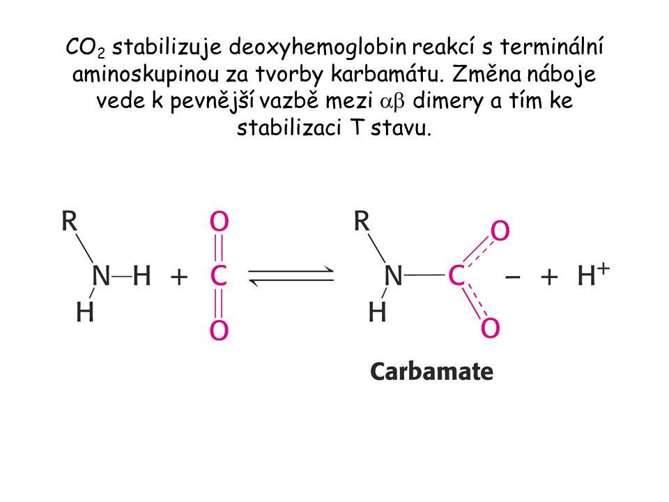CO2 stabilizuje deoxyhemoglobin reakcí s terminální aminoskupinou za tvorby karbamátu.