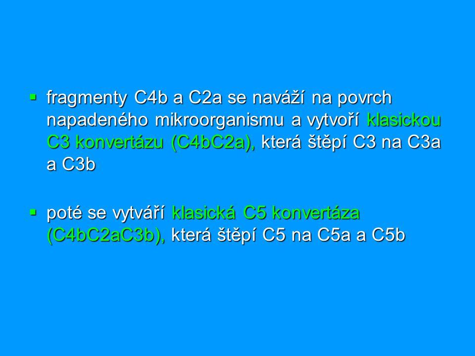 fragmenty C4b a C2a se naváží na povrch napadeného mikroorganismu a vytvoří klasickou C3 konvertázu (C4bC2a), která štěpí C3 na C3a a C3b