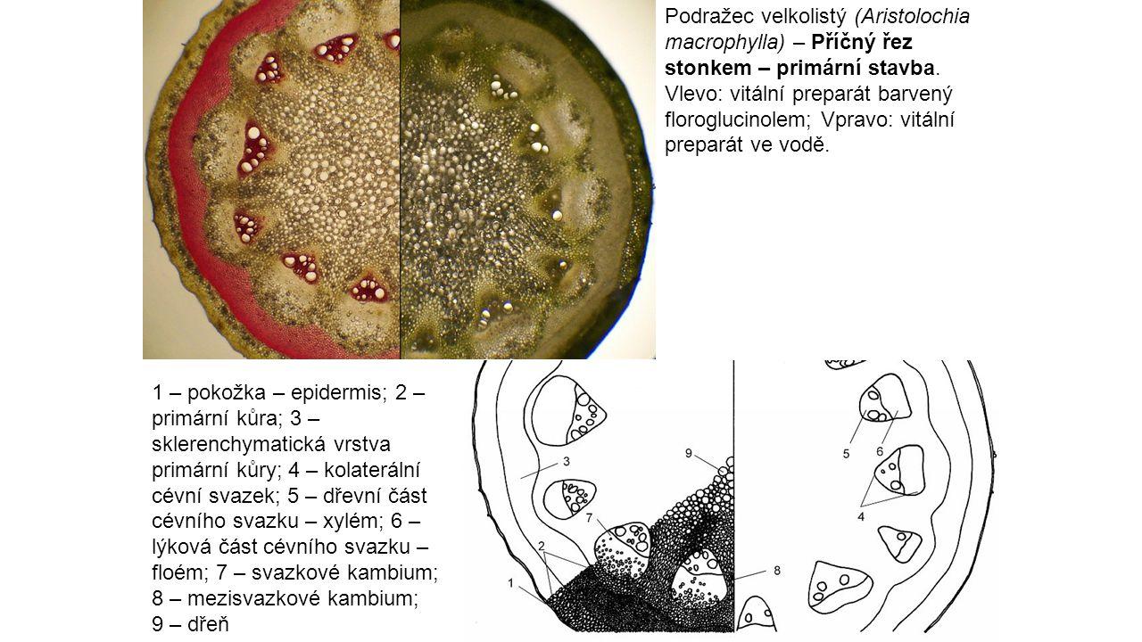 Podražec velkolistý (Aristolochia macrophylla) – Příčný řez stonkem – primární stavba. Vlevo: vitální preparát barvený floroglucinolem; Vpravo: vitální preparát ve vodě.