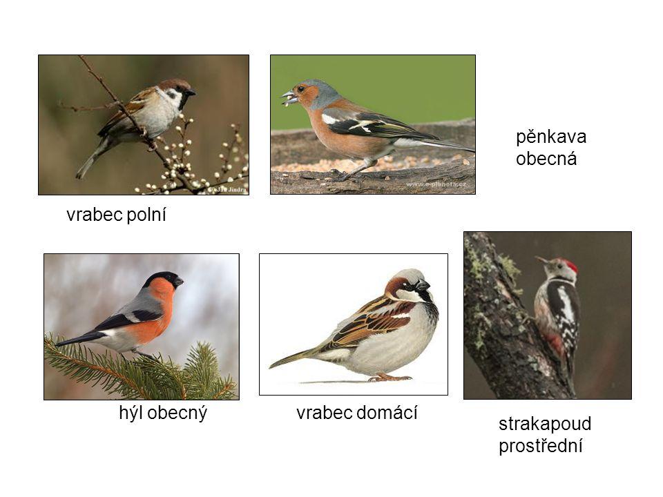 pěnkava obecná vrabec polní hýl obecný vrabec domácí strakapoud prostřední