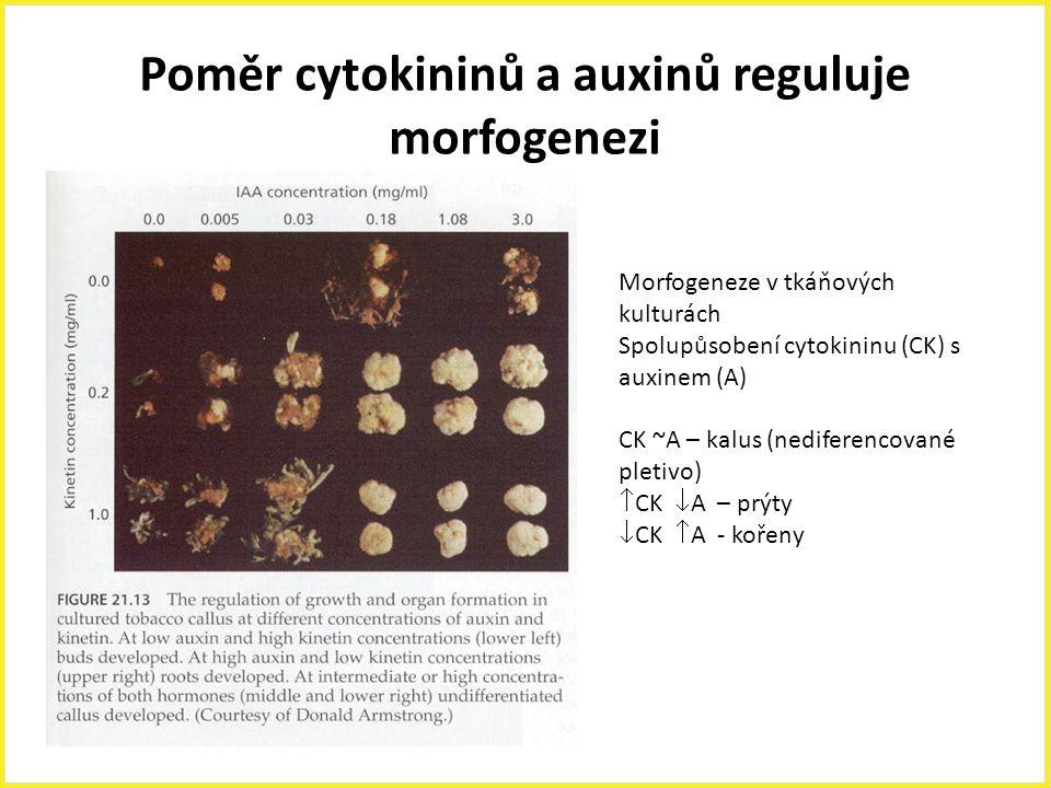 Poměr cytokininů a auxinů reguluje morfogenezi
