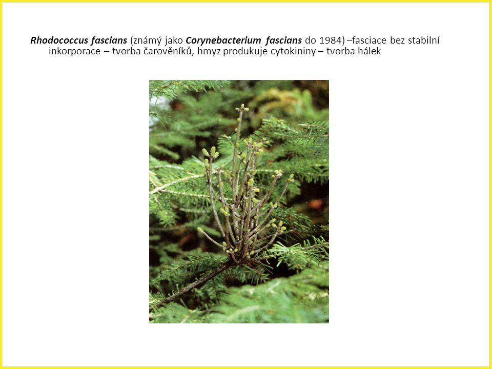 Rhodococcus fascians (známý jako Corynebacterium fascians do 1984) –fasciace bez stabilní inkorporace – tvorba čarověníků, hmyz produkuje cytokininy – tvorba hálek