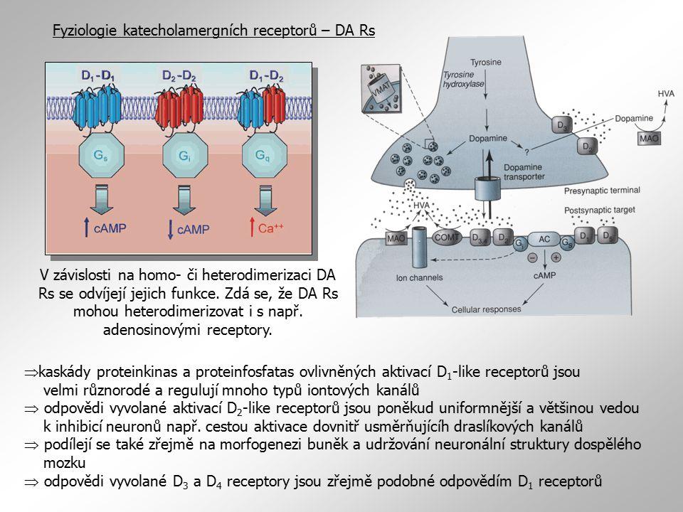 Fyziologie katecholamergních receptorů – DA Rs