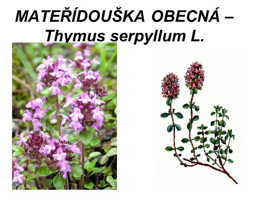 MATEŘÍDOUŠKA OBECNÁ – Thymus serpyllum L.