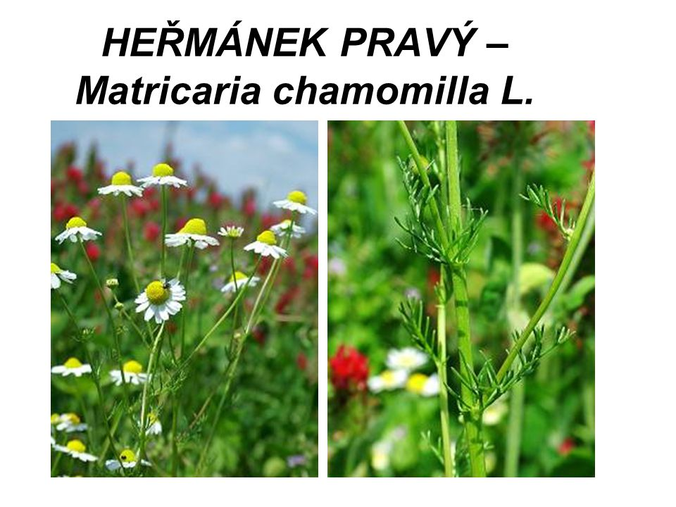 HEŘMÁNEK PRAVÝ – Matricaria chamomilla L.