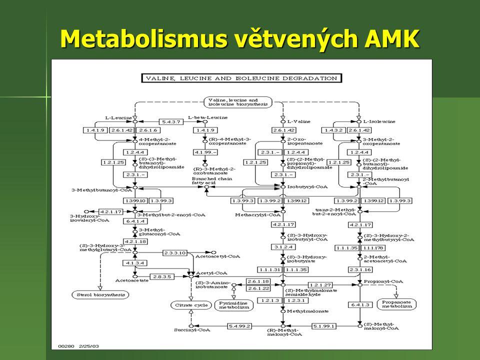 Metabolismus větvených AMK