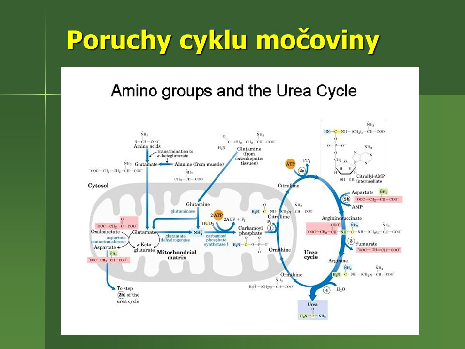 Poruchy cyklu močoviny