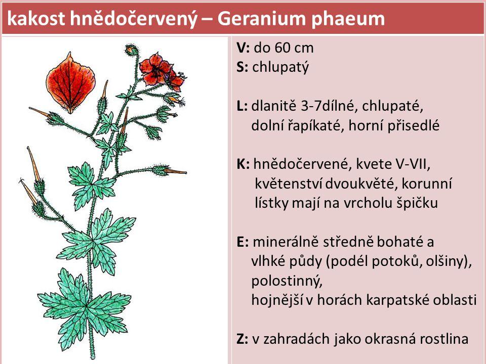 kakost hnědočervený – Geranium phaeum
