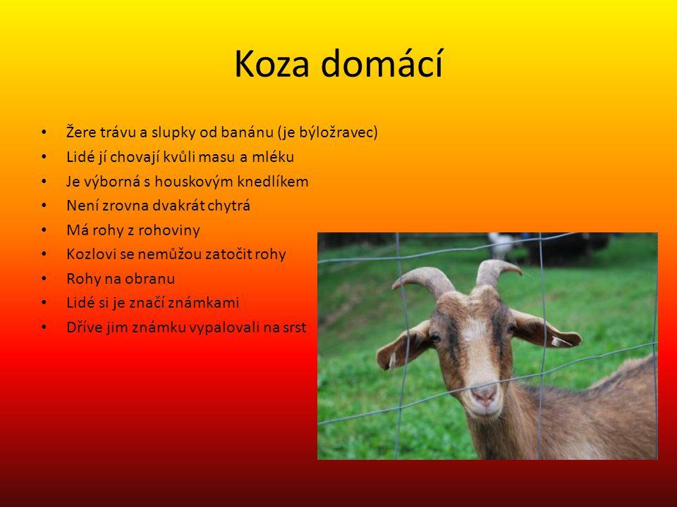 Koza domácí Žere trávu a slupky od banánu (je býložravec)