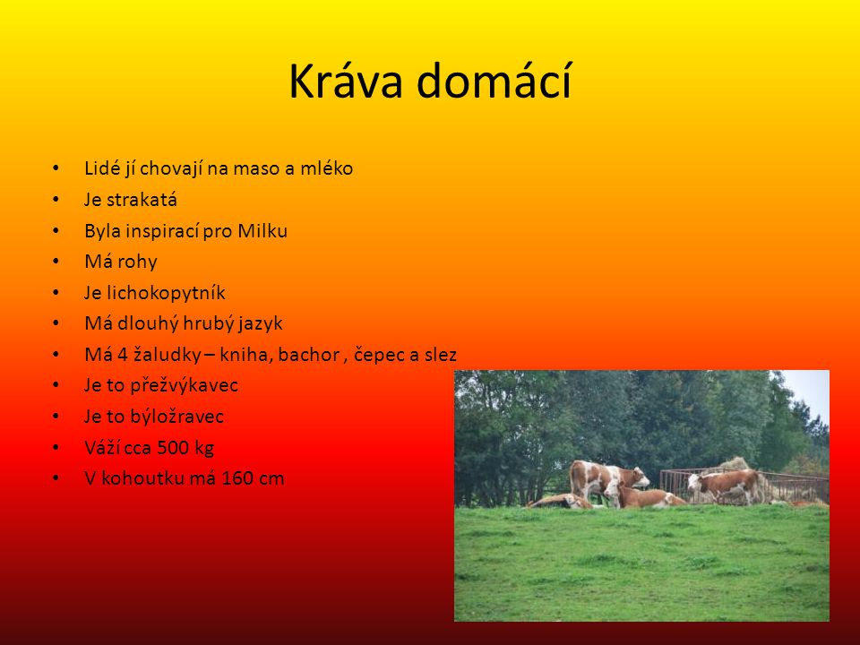Kráva domácí Lidé jí chovají na maso a mléko Je strakatá