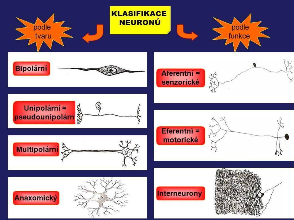 KLASIFIKACE NEURONŮ. podle. tvaru. podle. funkce. Bipolární. Aferentní = senzorické. Unipolární =
