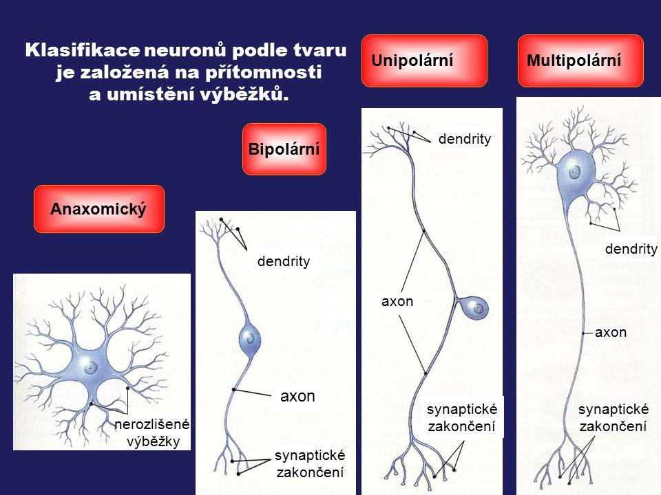 Klasifikace neuronů podle tvaru je založená na přítomnosti