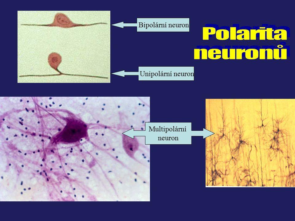 Polarita neuronů Bipolární neuron Unipolární neuron Multipolární