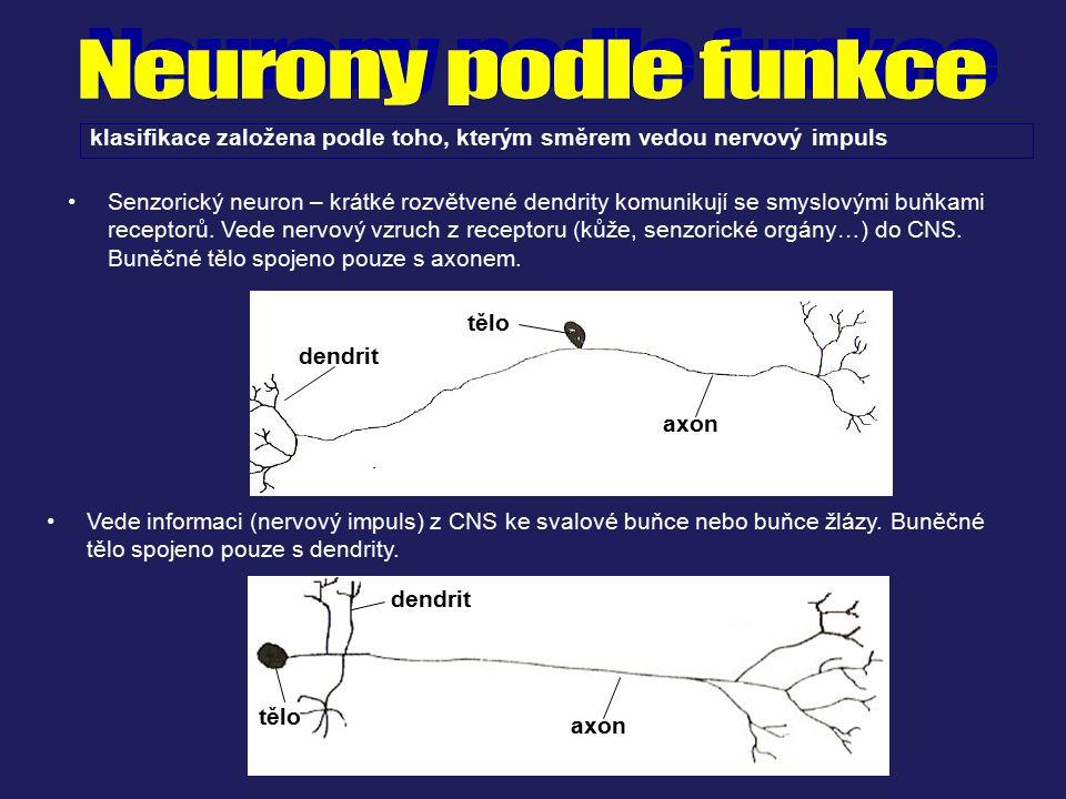 Neurony podle funkce klasifikace založena podle toho, kterým směrem vedou nervový impuls.