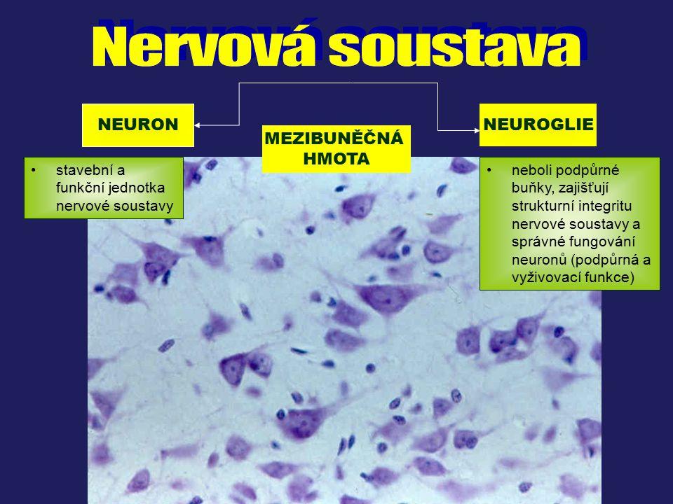 Nervová soustava NEURON NEUROGLIE MEZIBUNĚČNÁ HMOTA