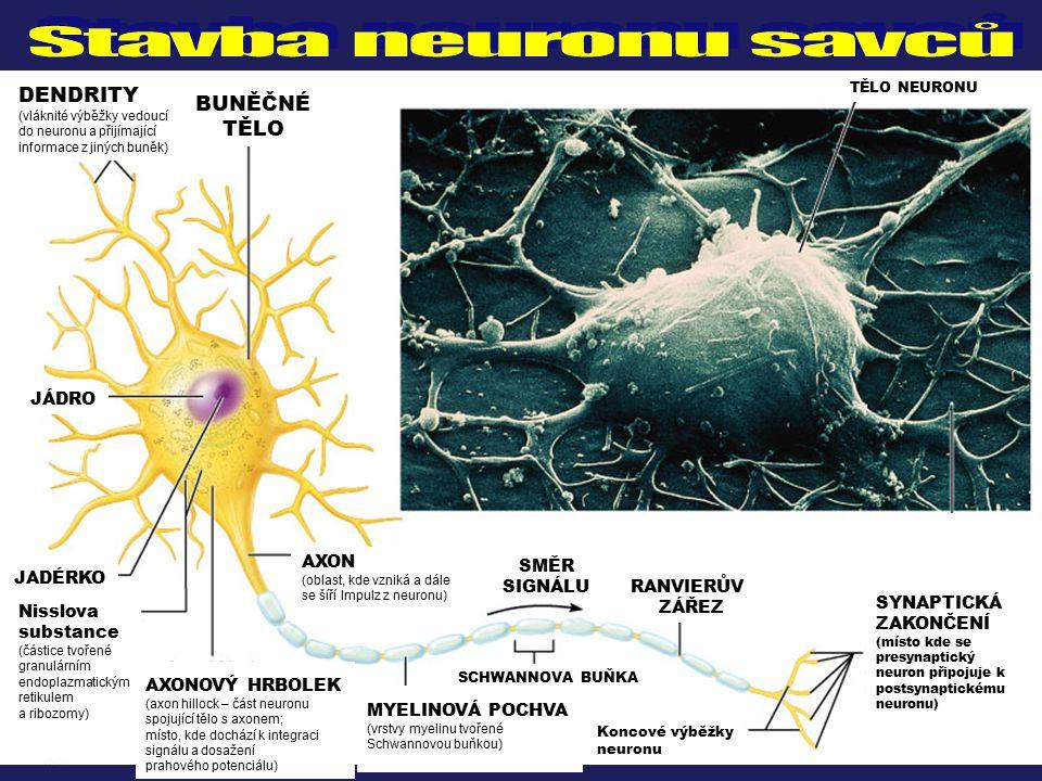 Stavba neuronu savců DENDRITY BUNĚČNÉ TĚLO JÁDRO AXON SMĚR JADÉRKO