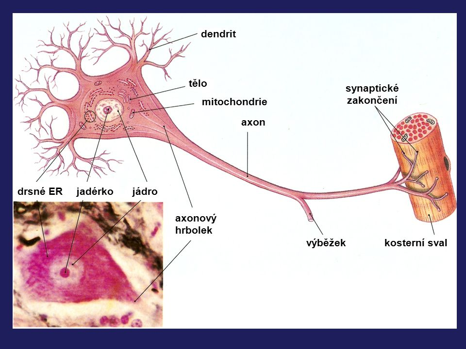 dendrit tělo. synaptické. zakončení. mitochondrie. axon. drsné ER. jadérko. jádro. axonový.