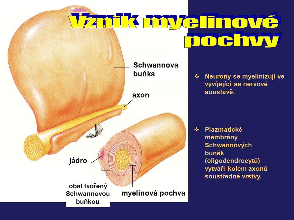 Vznik myelinové pochvy Schwannova buňka axon jádro myelinová pochva