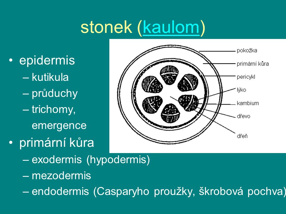 stonek (kaulom) epidermis primární kůra kutikula průduchy trichomy,