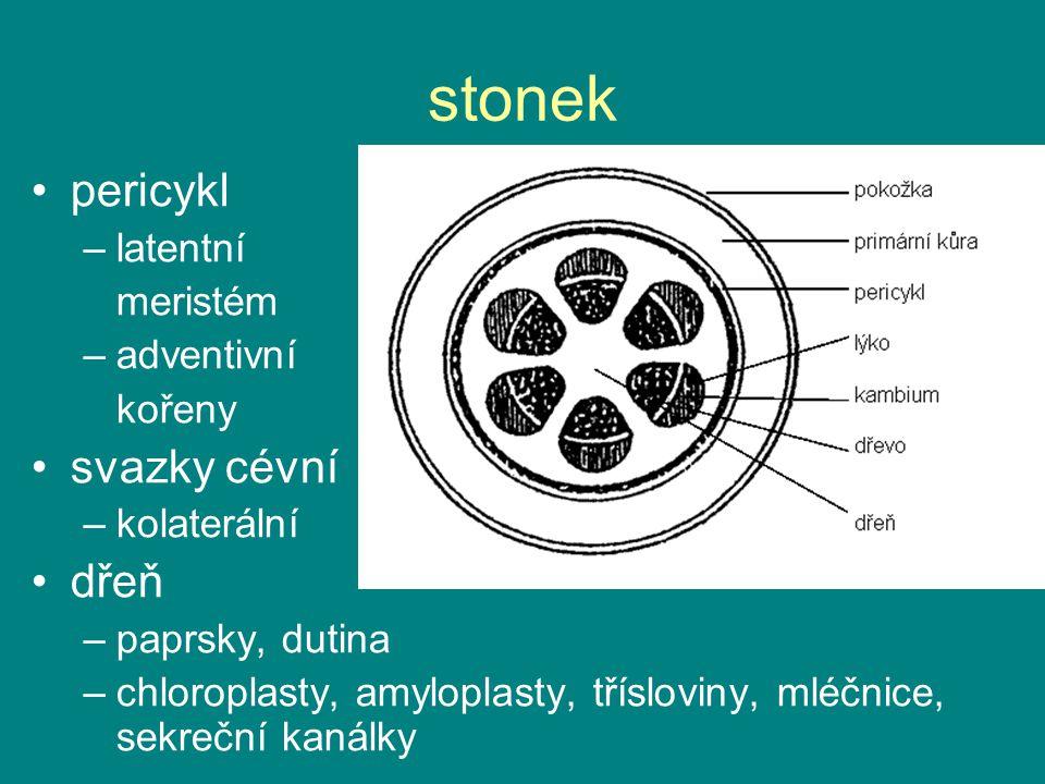 stonek pericykl svazky cévní dřeň latentní meristém adventivní kořeny