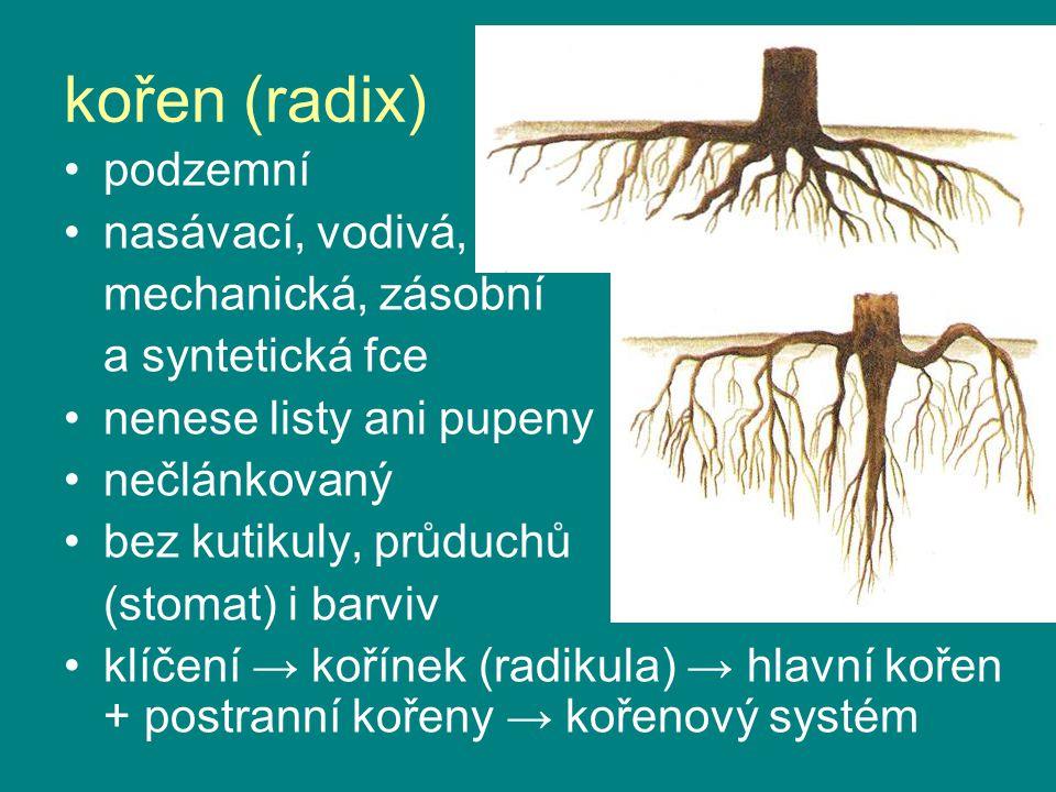 kořen (radix) podzemní nasávací, vodivá, mechanická, zásobní