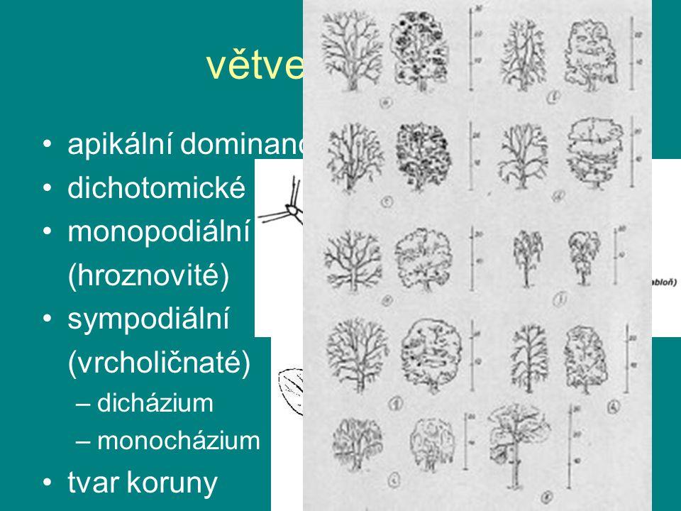 větvení stonku apikální dominance: auxiny x cytokiny dichotomické
