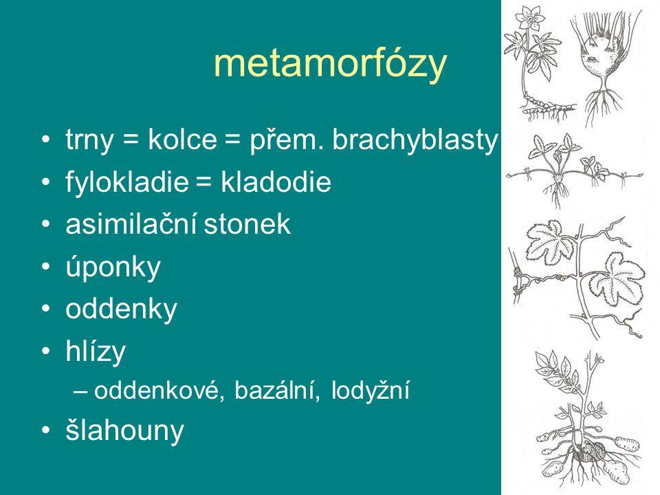 metamorfózy trny = kolce = přem. brachyblasty fylokladie = kladodie