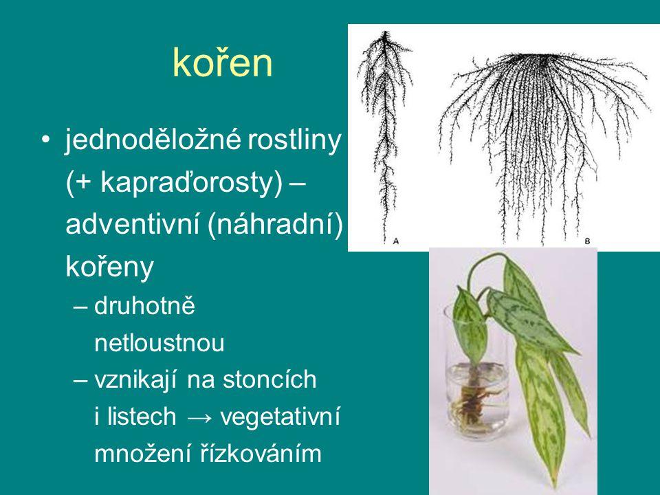 kořen jednoděložné rostliny (+ kapraďorosty) – adventivní (náhradní)