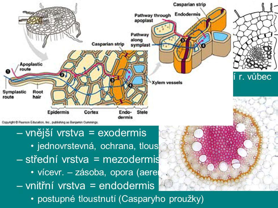 kořen kořenová pokožka (rhizodermis) primární kůra (cortex)