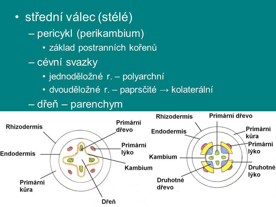 střední válec (stélé) pericykl (perikambium) cévní svazky