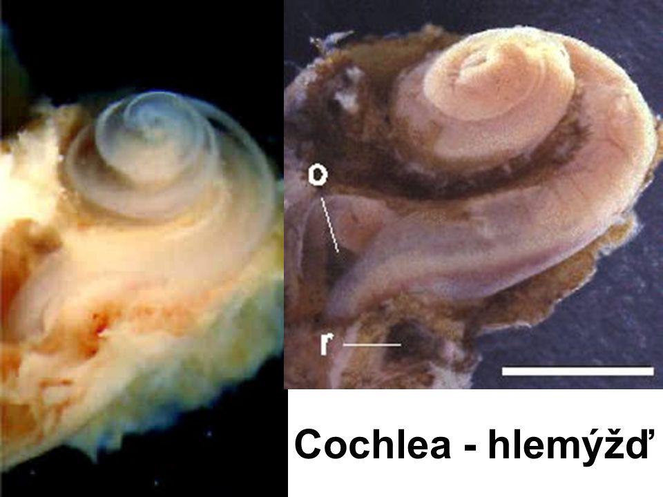 Cochlea - hlemýžď