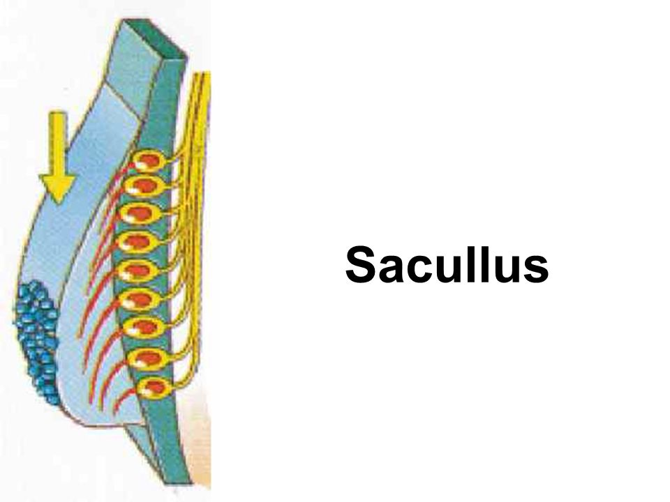 Sacullus